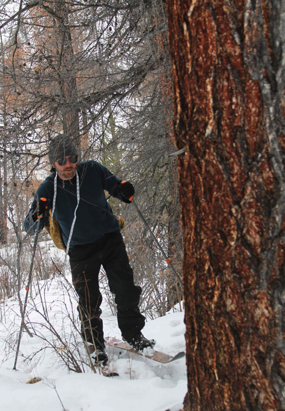 Spencer Pelton, skiing through the forest to take measurements of larch trees